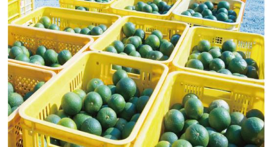 橙マーマレードの原料の玉